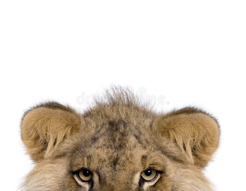 Opinião colhida o leão, Panthera leo, 9 meses velho imagens de stock royalty free