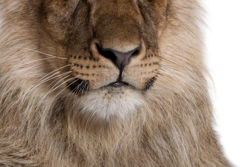 Opinião colhida o leão, Panthera leo, 9 meses velho imagens de stock