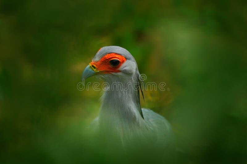Opinião da arte do retrato do pássaro Pássaro de Hiden de rapina raro na vegetação verde Secretário Bird, serpentarius do Sagitár fotografia de stock royalty free