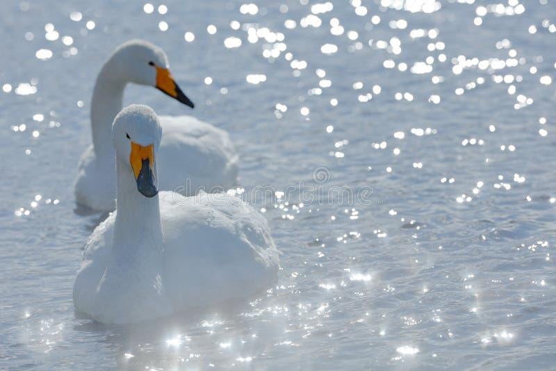 Opinião da arte duas cisnes Cisne de Whooper, cygnus do Cygnus, retrato do pássaro com conta aberta, lago Kusharo, a outra cisne  imagens de stock royalty free
