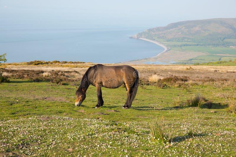 Opinião da costa da herança de Exmoor para o Weir de Porlock com pônei em uma noite do verão em Somerset Reino Unido imagem de stock
