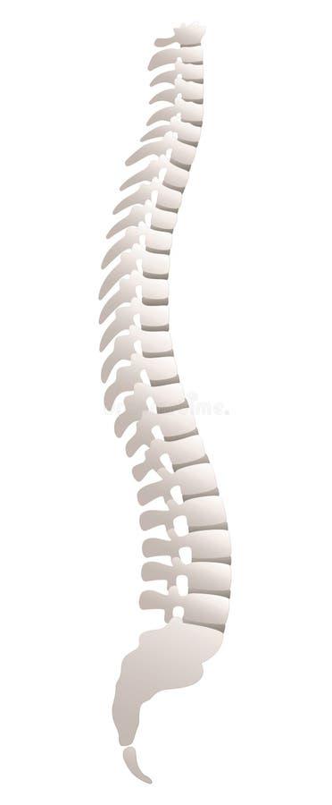 Opinião da lateral da espinha dorsal ilustração do vetor
