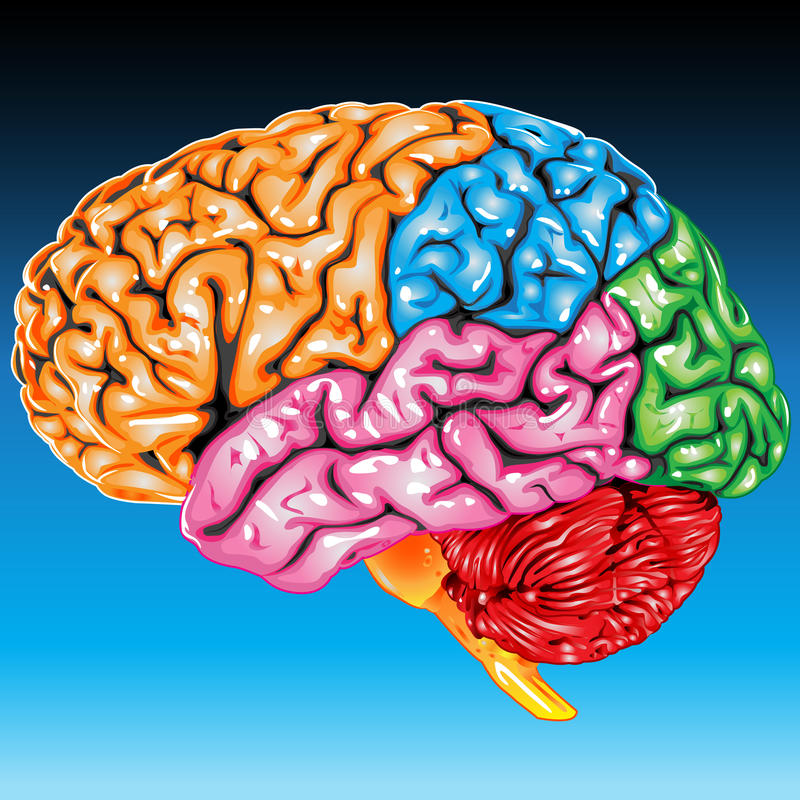 Opinião da lateral do cérebro humano ilustração do vetor