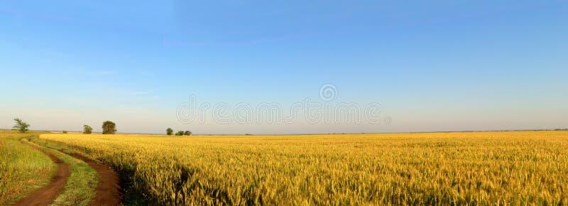 Opinião da manhã do campo infinito do centeio e da estrada de terra unpaved imagem de stock
