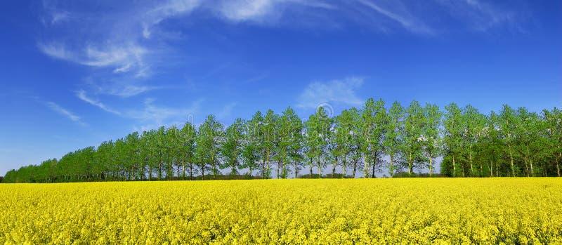 Opinião da mola, fileira de árvores verdes entre campos da violação foto de stock