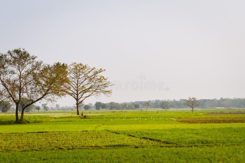 Opinião da paisagem da colza amarela da cor para agrupar flores no horizonte da floresta Nadia, Bengal ocidental, Índia imagem de stock