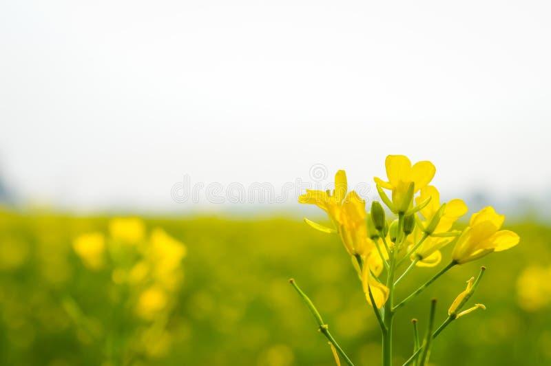 Opinião da paisagem da colza amarela da cor para agrupar flores no horizonte da floresta Nadia, Bengal ocidental, Índia fotos de stock royalty free