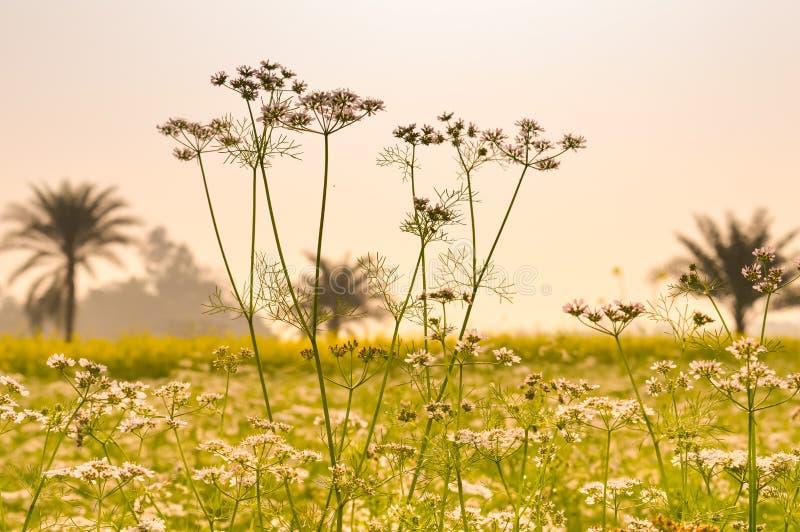 Opinião da paisagem da colza amarela da cor para agrupar flores no horizonte da floresta Nadia, Bengal ocidental, Índia imagens de stock