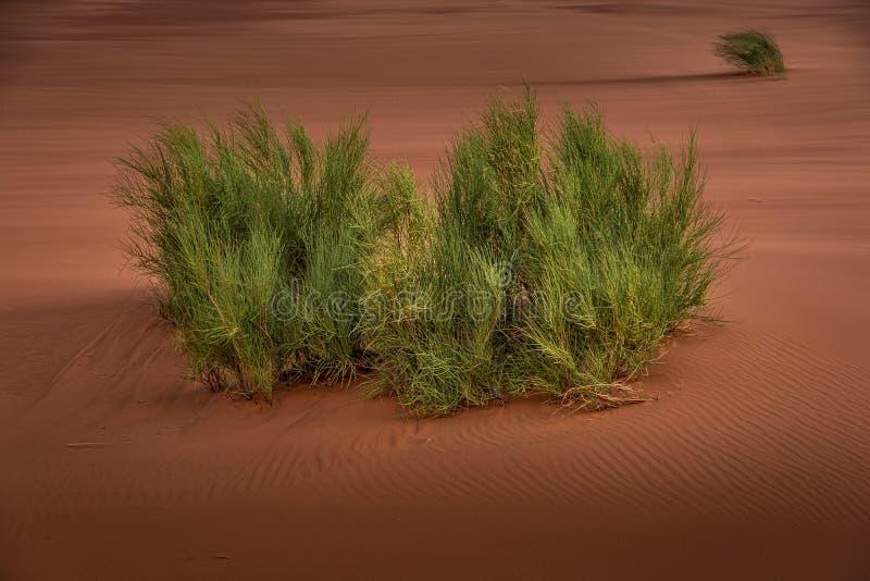 Opinião da paisagem de arbustos verdes no deserto foto de stock royalty free