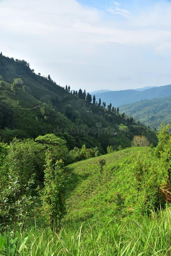 Opinião da paisagem do jardim de chá do ilam nepal do sakhejung fotos de stock