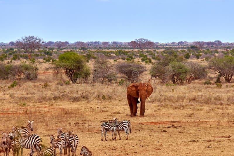 Opinião da paisagem no safari Kenya em África, em elefantes e em zebras no savana com as árvores foto de stock
