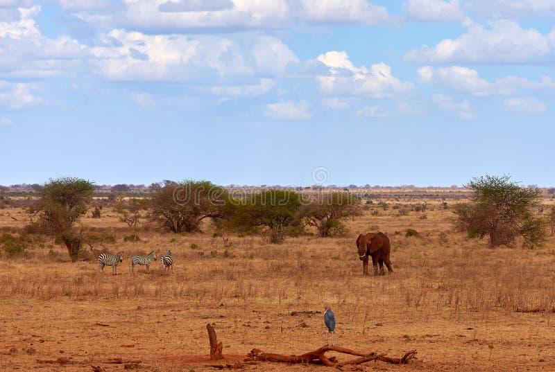 Opinião da paisagem no safari Kenya em África, em elefantes e em zebras no savana com as árvores imagem de stock royalty free