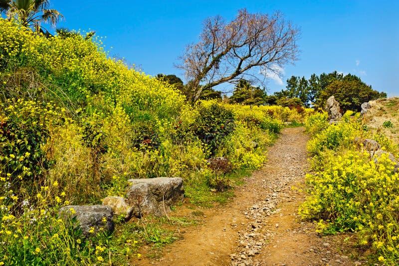 A opinião da primavera com violação floresce a flor na ilha de Jeju fotos de stock royalty free