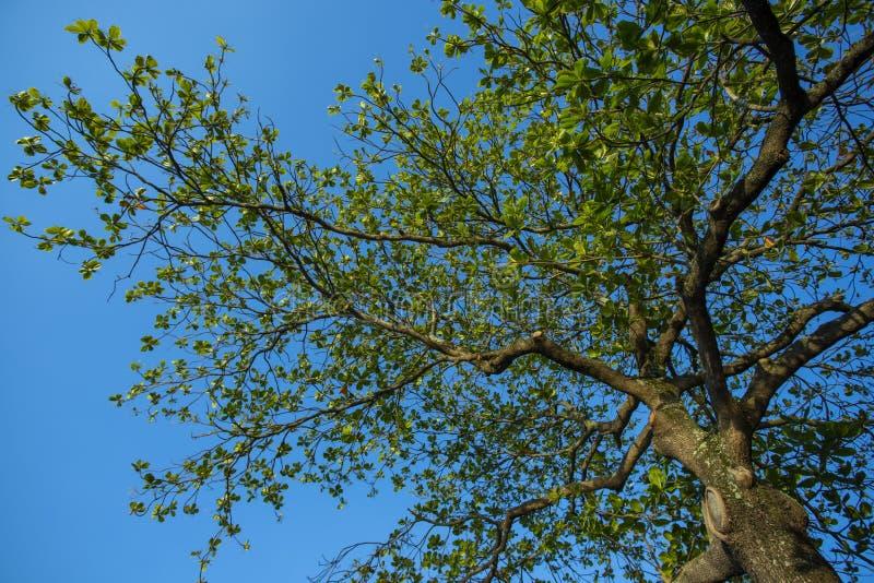Opinião de árvore de baixo de Amêndoa, catappa de Terminalia Árvore de amêndoa de Bengal fotos de stock royalty free