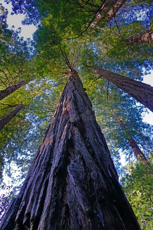 Opinião de árvore da sequoia vermelha de baixo de imagem de stock royalty free