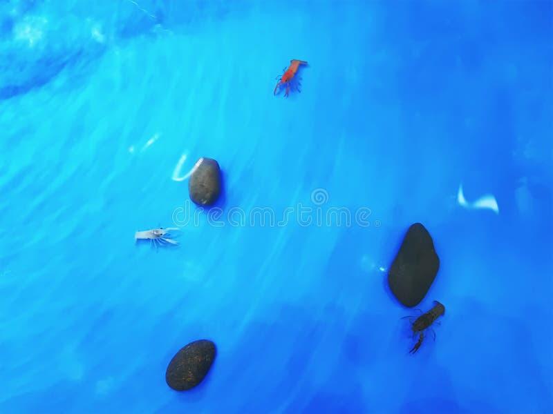 Opinião de ângulo alto camarões coloridos na lagoa azul fotografia de stock royalty free