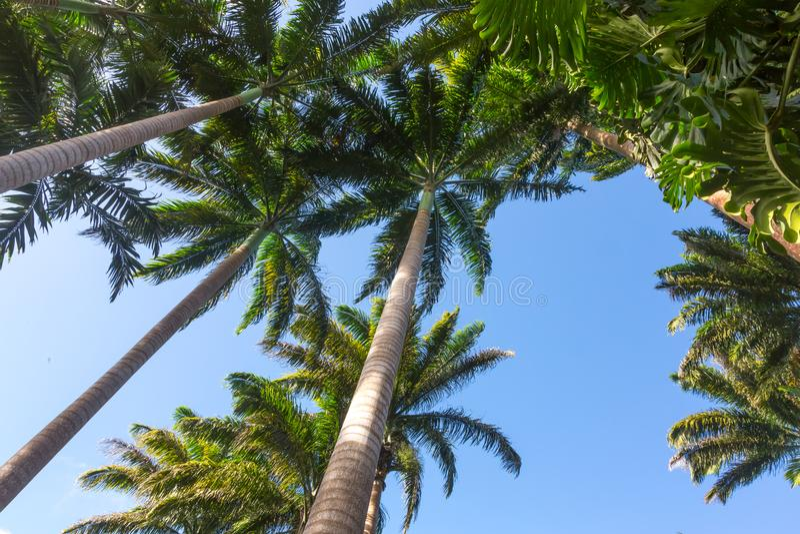 Opinião de ângulo larga de palmeiras altas imagem de stock