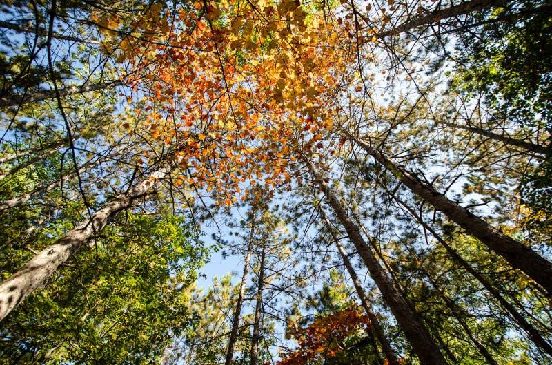 Opinião de ângulo larga que olha acima ao céu das árvores com cores da queda em B foto de stock