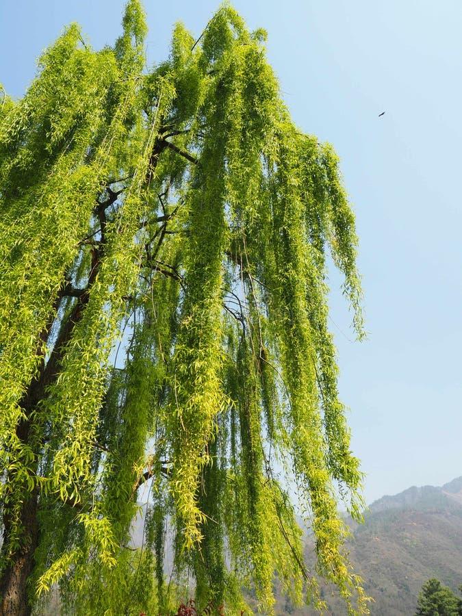 A opinião de baixo ângulo, árvore de A com verde bonito da crisálida sae fotografia de stock royalty free