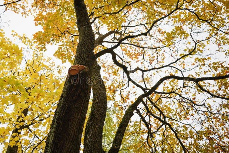 Opinião de baixo ângulo da árvore de bordo amarela com os cogumelos no tronco imagem de stock royalty free