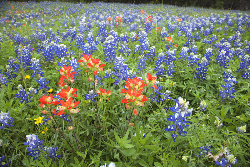 Opinião de baixo ângulo o pincel indiano e os Bluebonnets no fie de Texas foto de stock royalty free