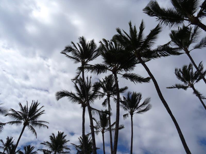 Opinião de baixo ângulo de palmeiras havaianas imagem de stock royalty free