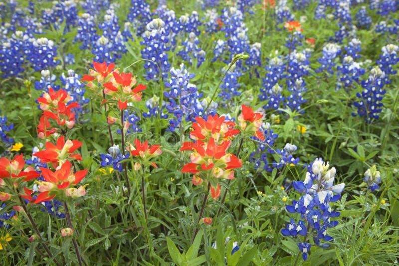Opinião de baixo ângulo wildflowers do pincel indiano e do Bluebonnet mim imagens de stock royalty free