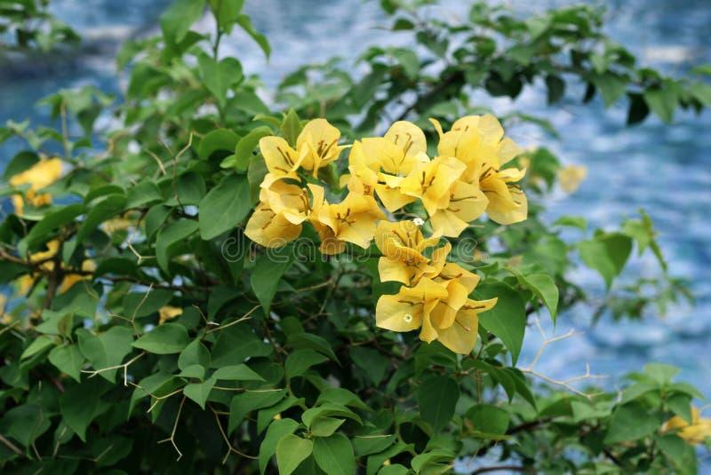 Opinião de florescência do close-up das flores da buganvília imagens de stock