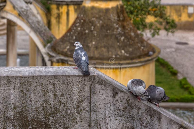 Opinião detalhada pombas urbanas na parede do Belvedere fotografia de stock royalty free