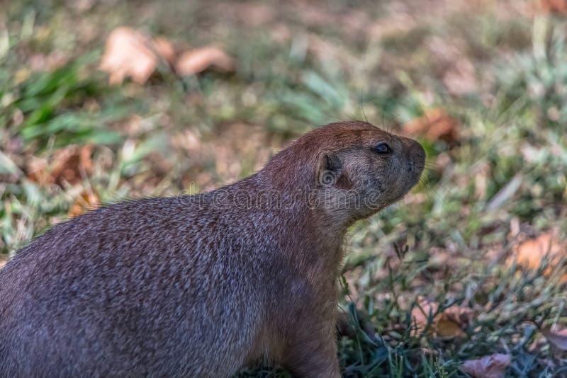 Opinião detalhada um único roedor engraçado, cão de pradaria, gênero Cynomys imagens de stock