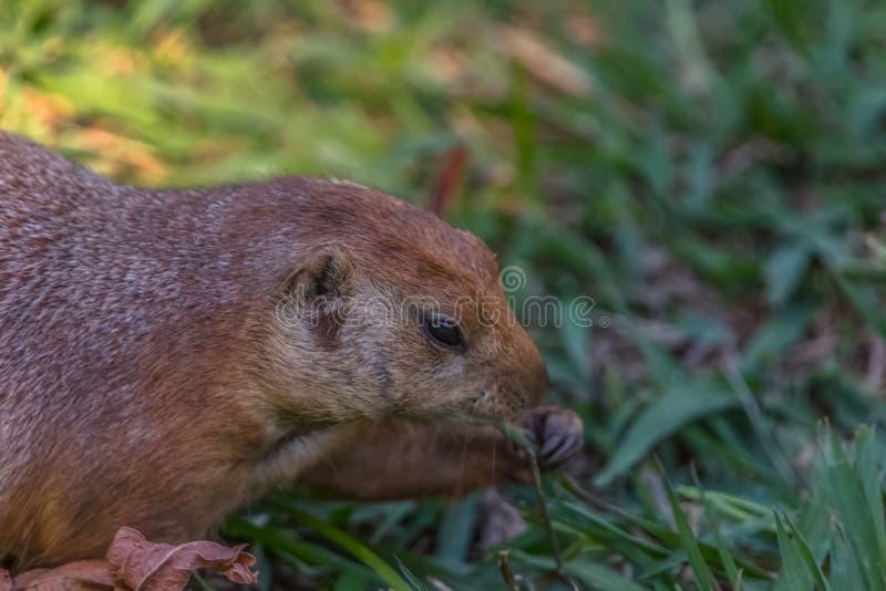 Opinião detalhada um único roedor engraçado, cão de pradaria, gênero Cynomys imagem de stock