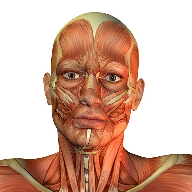 Opinião dianteira da face do homem do músculo ilustração royalty free