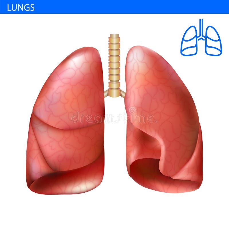 Opinião dianteira da ilustração realística humana da anatomia dos pulmões em detalhe Investir contra o exercício Pulmão direito e ilustração royalty free