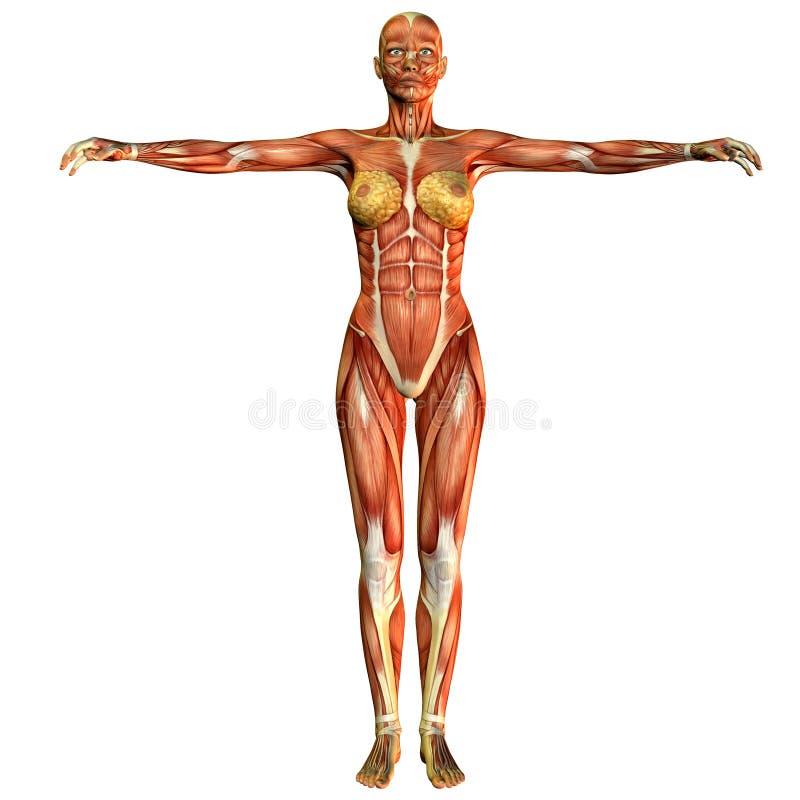 Opinião dianteira da mulher do músculo do estudo ilustração do vetor
