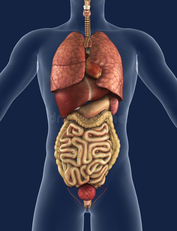 Opinião dianteira de órgãos internos ilustração do vetor
