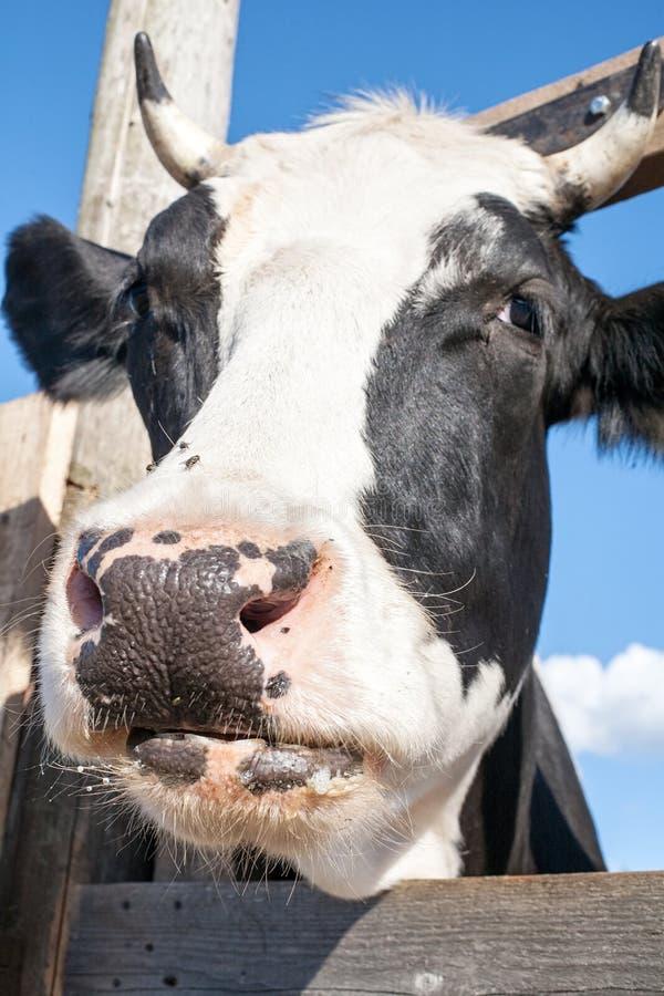 Opinião dianteira do close up preto e branco do focinho da vaca com foco nos olhos imagens de stock