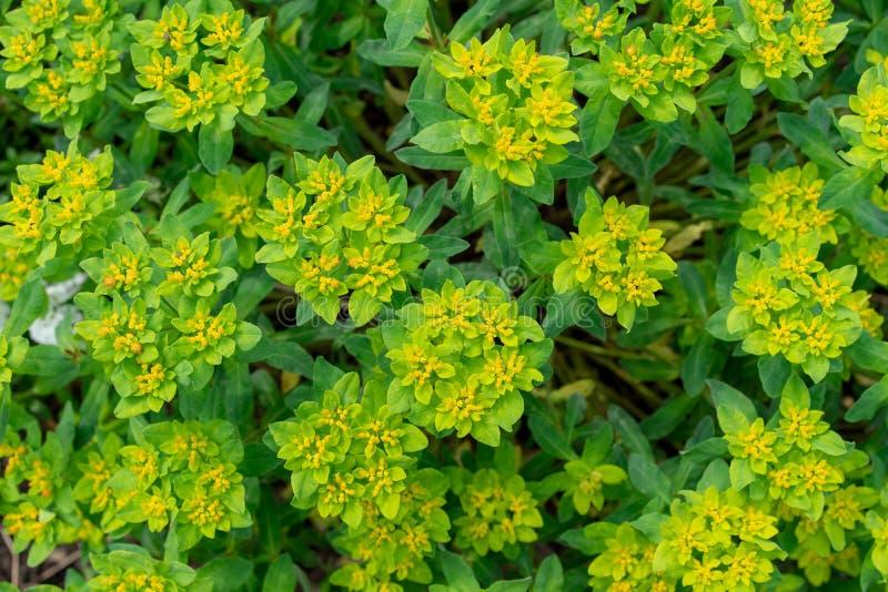 A opinião dianteira a erva daninha de ligamento, convólvulo tricolor de Portugal, pode ser usada para o fundo da planta fotos de stock