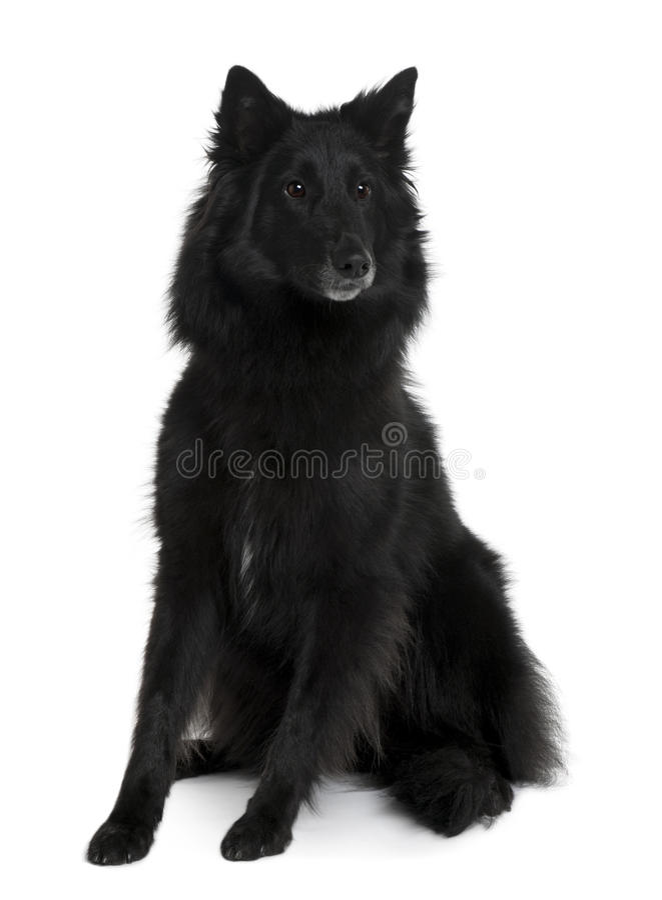Opinião dianteira o cão de pastor belga, sentando-se foto de stock