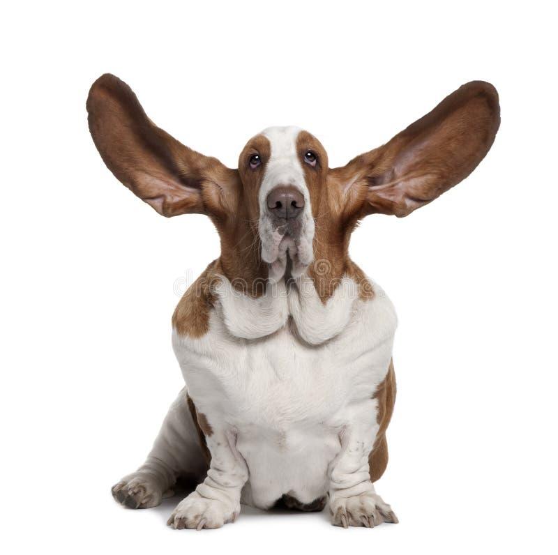 Opinião dianteira o Hound de Basset com orelhas acima, sentando-se fotos de stock