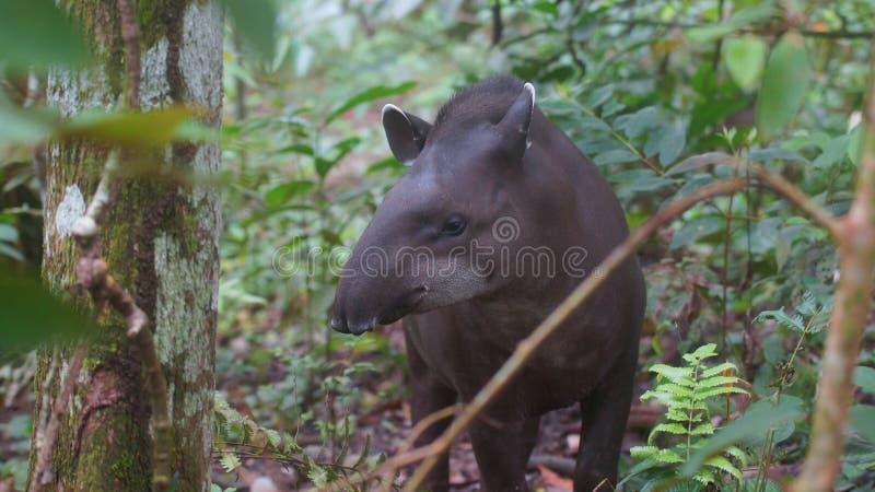 Opinião dianteira o tapir das Amazonas com fundo da selva fotografia de stock
