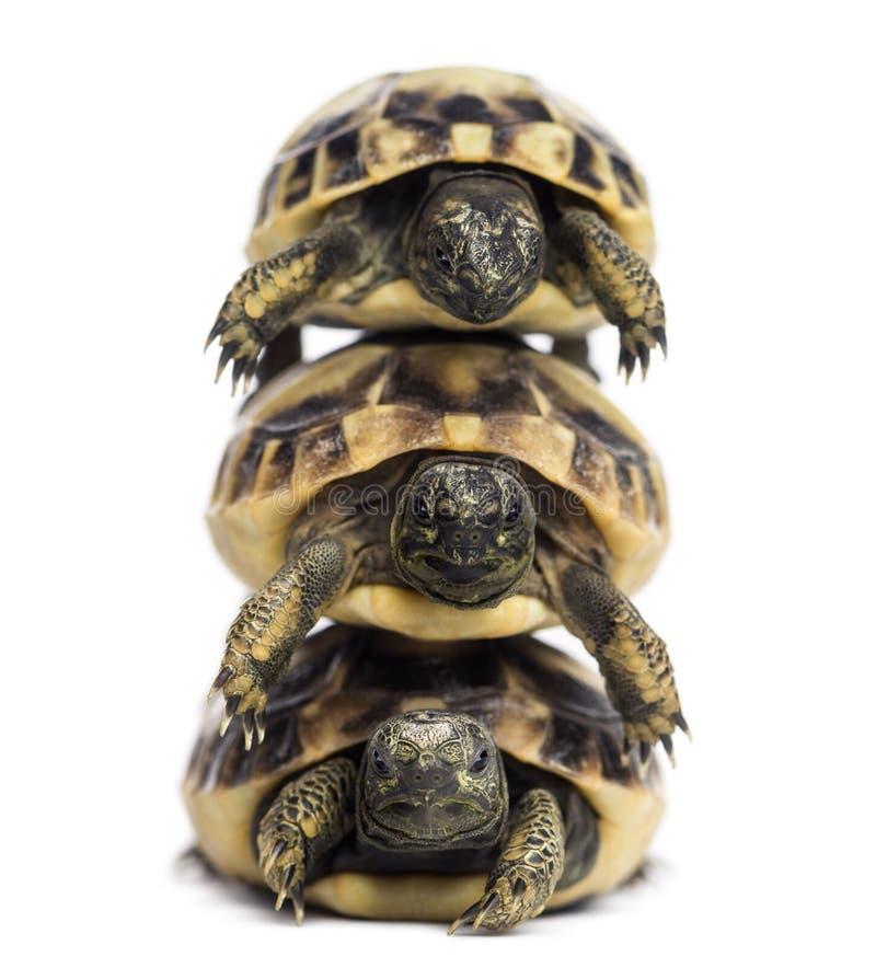 Opinião dianteira a tartaruga de três Hermann do bebê empilhada acima fotografia de stock royalty free