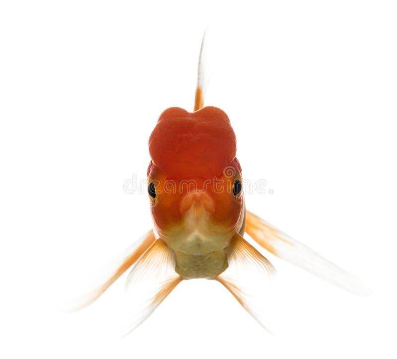 Opinião dianteira um peixe dourado principal dos leões fotos de stock royalty free