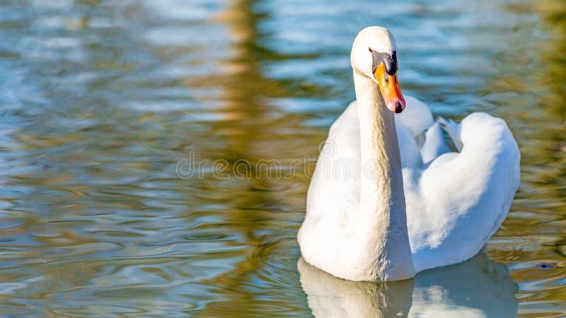 Opinião dianteira uma cisne branca que nada calmamente em uma lagoa imagens de stock