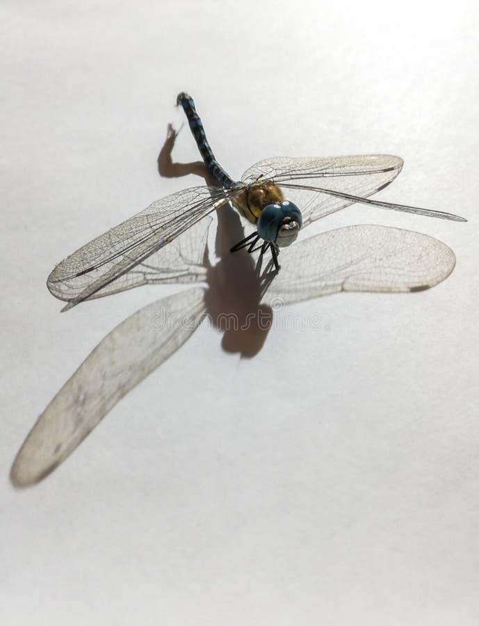 Opinião dianteira uma libélula inoperante foto de stock royalty free