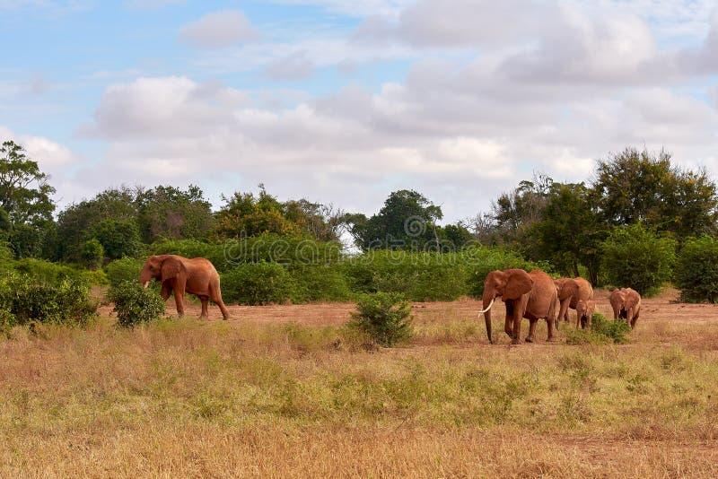 Opinião diversos elefantes africanos no savana no safari em Kenya - África imagens de stock royalty free