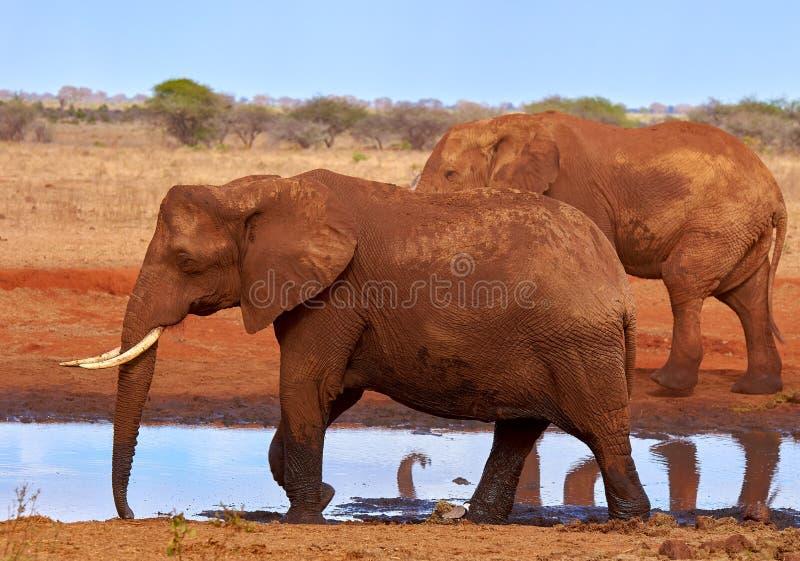 Opinião diversos elefantes africanos no savana no safari em Kenya - África imagem de stock