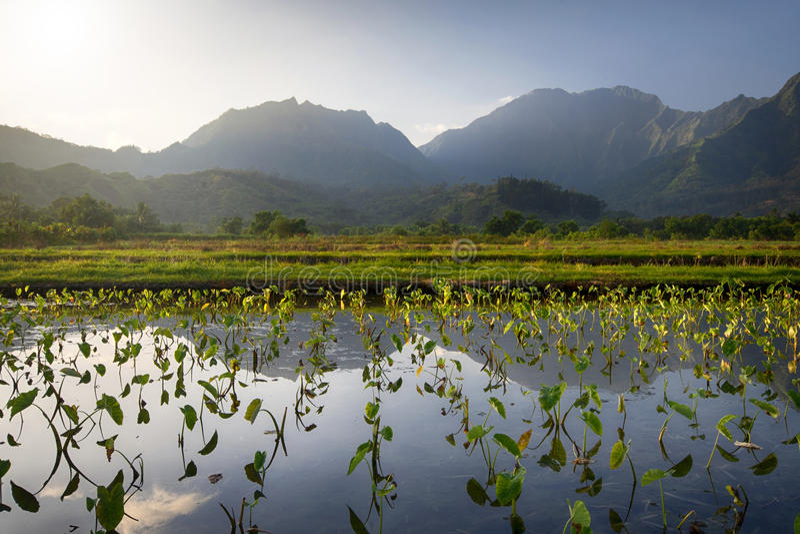 A opinião do amanhecer do Taro coloca em Hanalei, Kauai, Havaí fotografia de stock royalty free