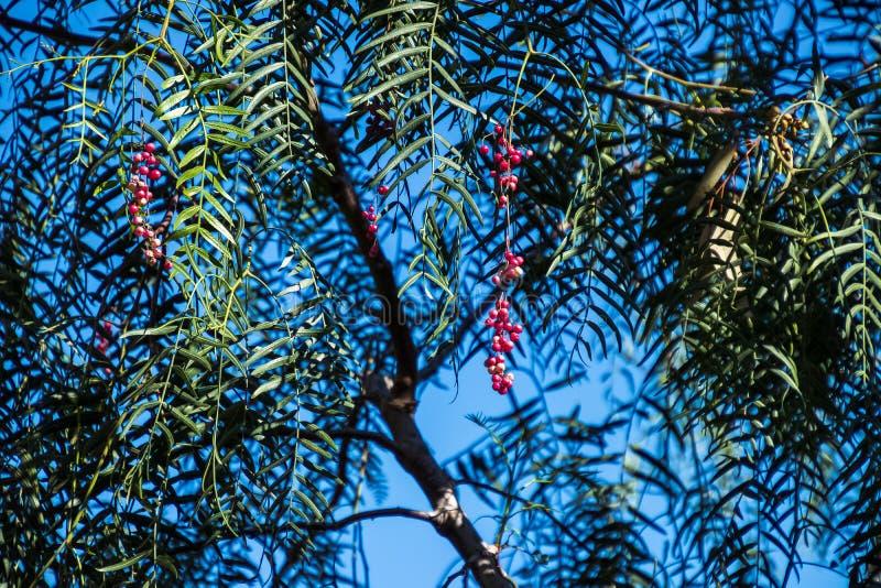 Opinião do close-up as bagas de um molle do Schinus da árvore de pimenta de Califórnia em Califórnia do sul foto de stock