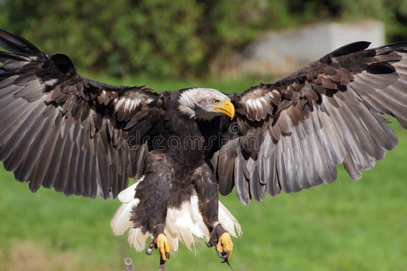 Opinião do close up da águia de mar da aterrissagem foto de stock royalty free