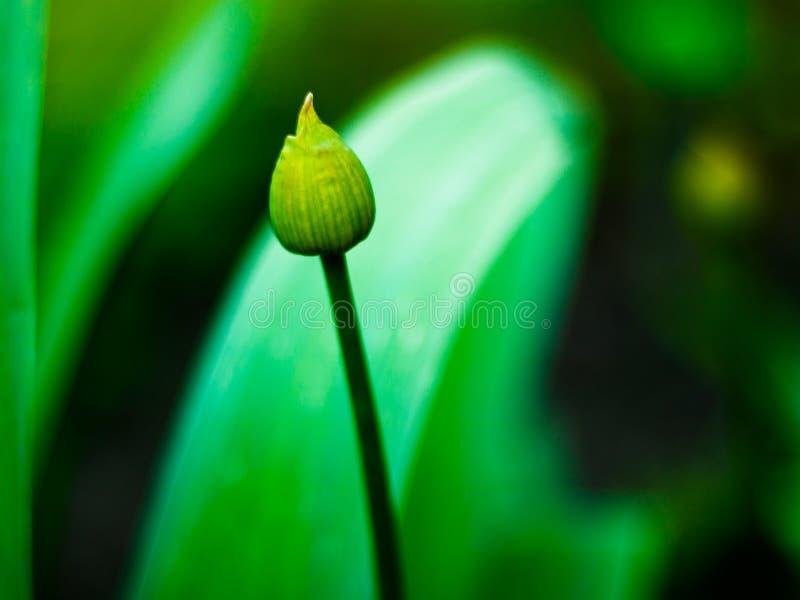 Opinião do close-up da flor em botão nova, verde, desdobrada fotografia de stock royalty free